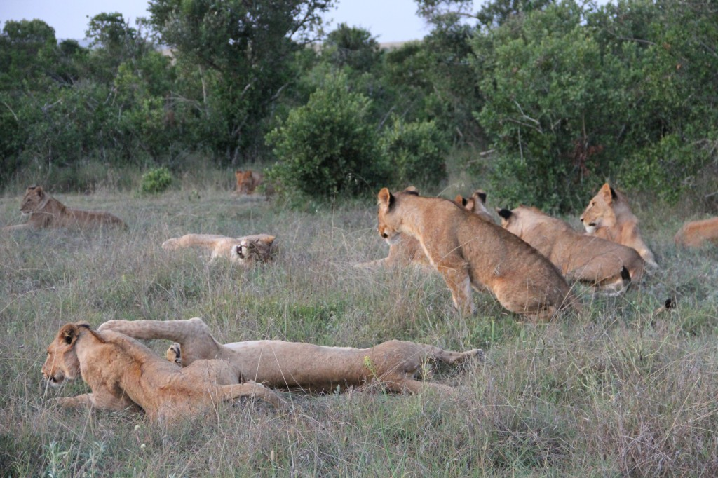 The Borana pride of lions