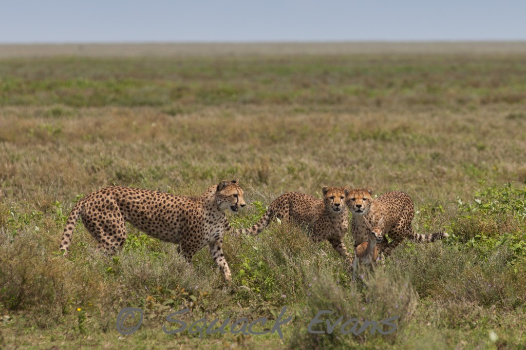 Cheetah cubs learning to hunt baby gazelle