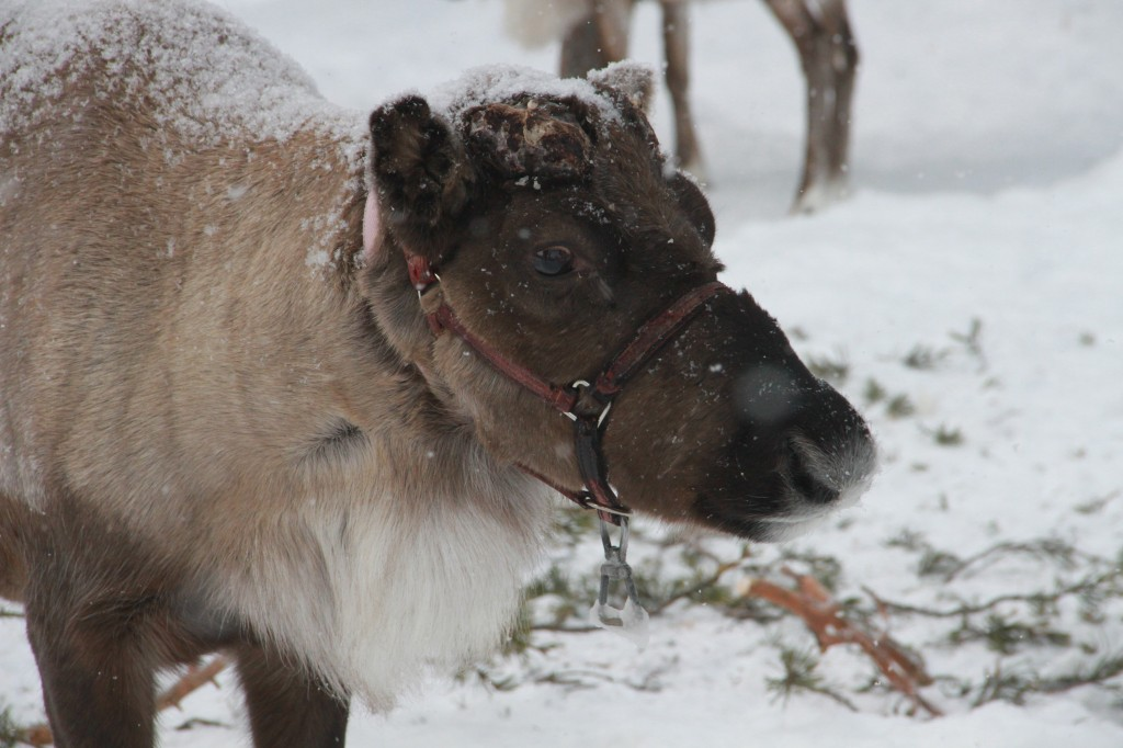 Up close and personal with reindeer.