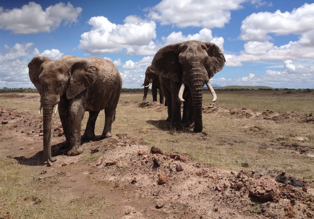 A few of Amboseli's famous eles.
