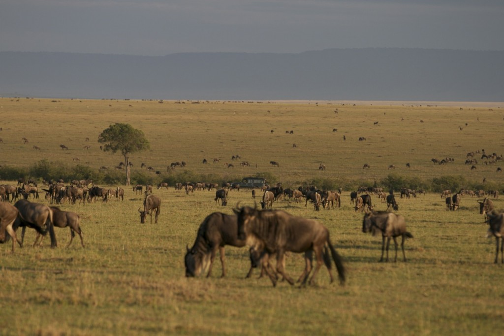 Howard's car amongst the Loita migration of wildebeest.