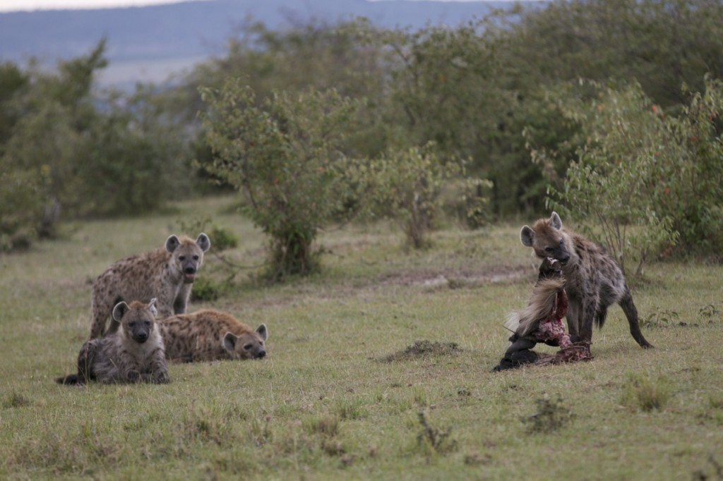 Lamu feeds on a freshly killed gnu....while the lower ranking members of the Talek clan wait for some scraps.