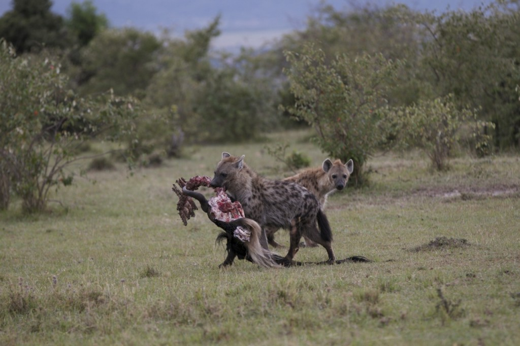 You can see just how strong a spotted hyena is when it carries a carcass with ease.
