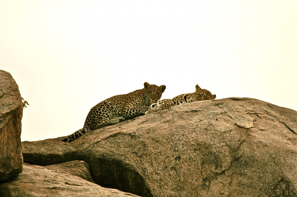 A stunning view of leopards out in the open.
