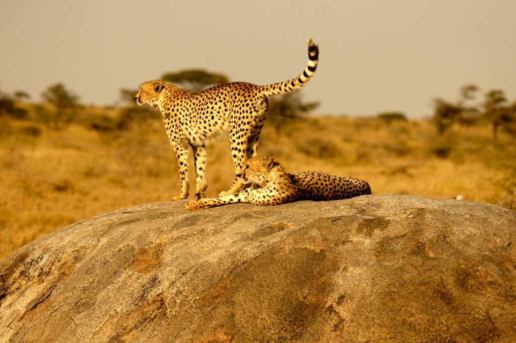 A pair of very fit cheetahs.