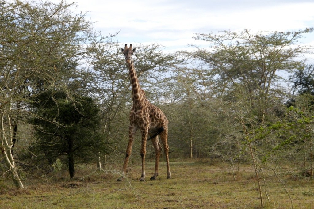 giraffe on house site