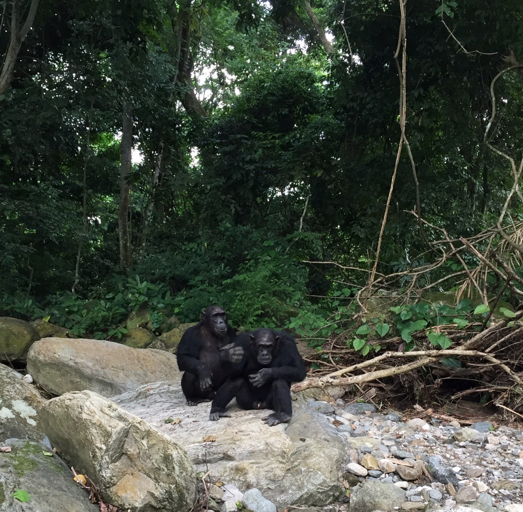 Walking along the river with the chimps